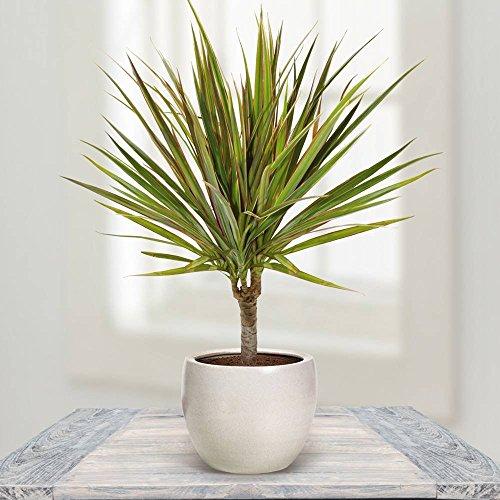 Drachenbaum bicolour auf Stämmchen - 1 pflanze