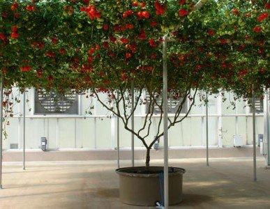 italienisch-baum-tomaten-5-samen-lycopersicon-tomato-italian-tree