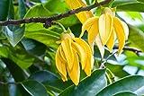 Ylang-Ylang Parfümbaum (Cananga odorata) 5 Samen