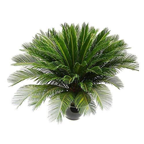 cycas revoluta sago palm seeds bonsai in vaso home decor 1pcs