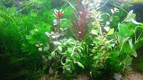 Aqua Plants 40 Plantas Acuario Vivo colección Plantas
