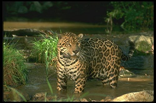 134094 Jaguar In Forest Stream A4 Photo Poster Print 10x8