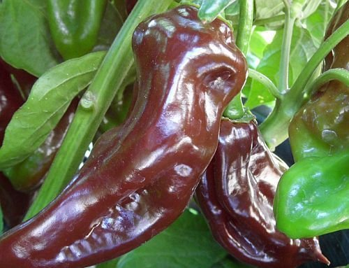 Chili Black Habanero - piment - 10 graines