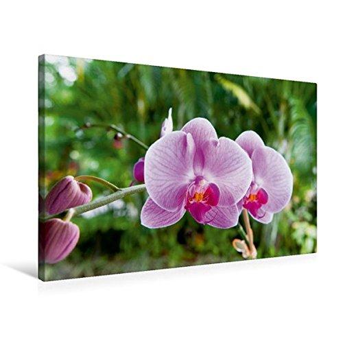 Calvendo Premium Textil-Leinwand 75 cm x 50 cm Quer, Orchidee Phalaenopsis Pink | Wandbild, Bild auf Keilrahmen, Fertigbild auf Echter Leinwand, Leinwanddruck Natur Natur