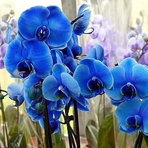 Vivai Le Georgiche ORCHIDEA PHALAENOPSIS BLUE