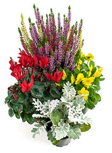 Herbst Blumenset Nr.4 Calluna vulgaris Trios Milka, Alpenveilchen, Viola Stiefmütterchen & Silberblatt