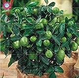 Shopmeeko 10 teile/beutel kaffir kalk (Citrus aurantifolia) organische früchte Zitrone Bonsai Baum Hohes vitamin gut für gesundheit topfpflanzen