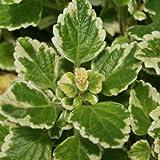 Plectranthus forsteri var.marginatus - Planta del incienso - Maceta de 10,5cm - 10cm de altura