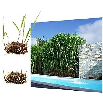 """Horstbildender Bambus""""Pingwu"""" (Fargesia robusta"""