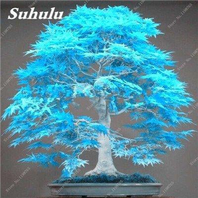 50 PC Seltene China Bule Ahorn Bonsai-Baum-Samen, Rare Sky Blue Maple Balkonpflanzen Schöne Maple Leafs Für Hausgarten
