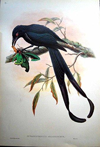 John Gould Gould Vogel (Drucken Sie Drongo-Vogel Johns Gould Dicranostreptus Megarhynchus Neues Irland)