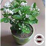 PlantaZee Fresh Motiya/Jasmin/Mogra sambac Live Small Size Flower Jasmine Plant