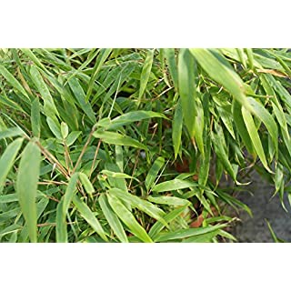 Fargesia murieliae 'Rufa' - Bamboo x 1 Clump