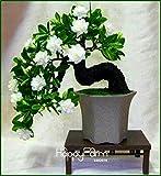 Zeit Limit100 Pcs Gardenia Seeds (Cape Jasmin) -DIY Hausgarten-Topf Bonsai, erstaunlicher Geruch und schöne Blumen für Zimmer, # MW