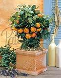 Obst (Citrus mitis (Calamondin))