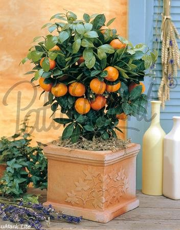 Calamondin-Orange  <strong>Wuchsbreite</strong>   1 - 1,5 m