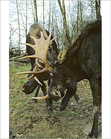 Photographic Print of Alaskan Moose - bulls sparring