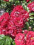 Bodendeckerrose Fairy Dance® - Rosa Fairy Dance® - blutrot - Harkness-Rose Preis nach Stückzahl 3 Stück