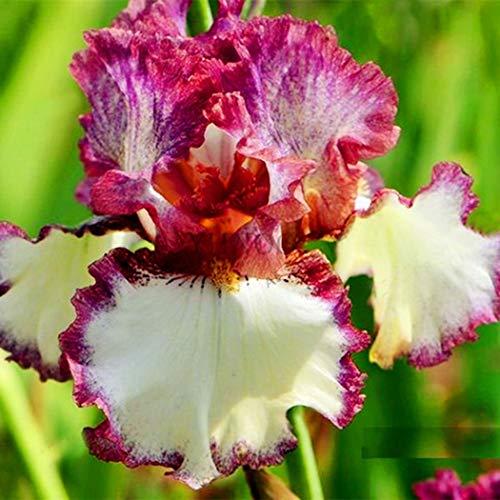 MEIGUISHA Gartensamen- Schwertlilien Iris Blumensamen Blume Pflanze winterhart mehrjährig für kleine Gärten 50 Stück