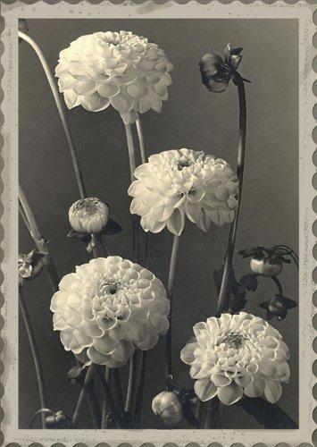 Dahlien-Grußkarte von Max Baur (Americana Kirsche)