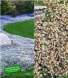 BALDUR-Garten Winterharte Bodendecker-Kollektion blau und weiß, 6 Pflanzen Isotoma Spanisches Gänseblümchen