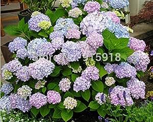 Semi di fiori, ortensia Ortensia 50PCS piante da giardino di semi misti bonsai Fort Viburnum, semi bonsai