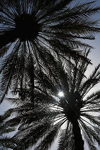 Oasis Palm-design (The Poster Corp Ian Cumming/Design Pics - Silhouette of Date Palm Trees In Oasis; Al Ain Abu Dhabi United Arab Emirates Photo Print (30,48 x 48,26 cm))