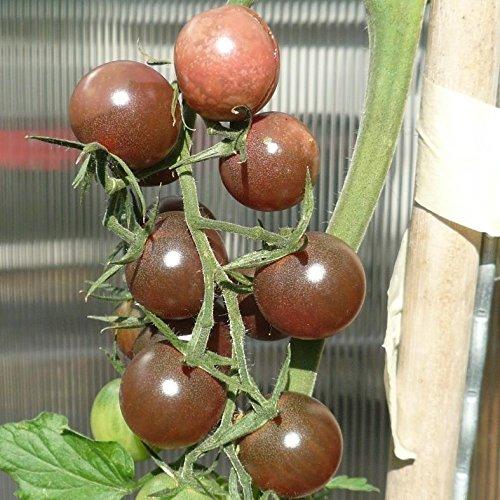 10 Samen Black Cherry Tomate – Pflanze über 3m, sehr aromatisch