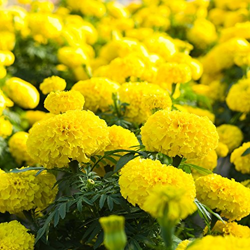 Ringelblume Lemon Drop Samen - Aufrechte Studentenblume