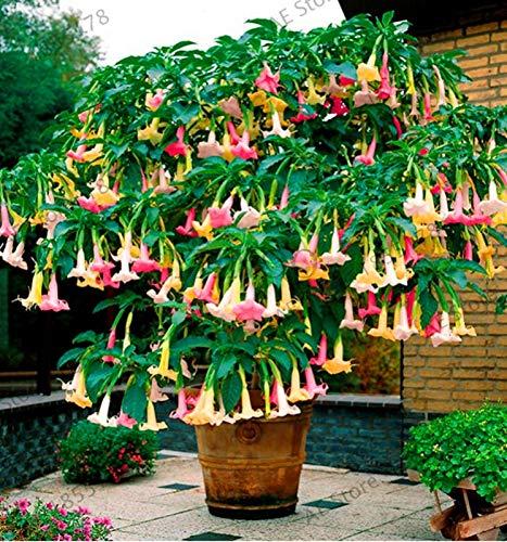 Shopmeeko Samen: Große Förderung 100 Datura Pflanzen Mini Bonsai Blume Plantas für Hausgarten Einpflanzen Brugmansia Datura Sämling Seltene Blume-Plan: MIX