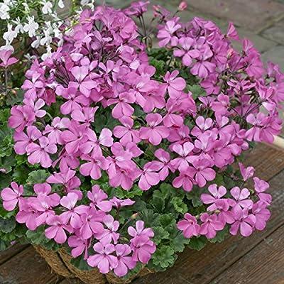 Geranien, stehend , rosa blühend, 3 Pflanzen im 12 cm Topf von Landgard Blumen & Pflanzen bei Du und dein Garten