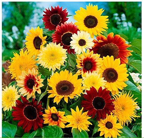 AIMADO Samen Sonnenblumensamen Mischung Garten Pflanzen Saatgut Blumensamen mehrjährig Sonnenblumen Zierblumen bienenfreundliche Blumen Saatgut (Saatgut Schnell)