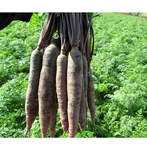 TOPmountain Graines de Carotte Pourpre 500 pcs Graines de Plantes de légumes biologiques graines de légumes pour Le Jardinage