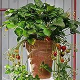 Generic Erdbeere Hummi®Meraldo, 9 cm Topf