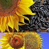 BigFamily 1 Pack Graines De Tournesol Fleur Bonsaï Plantes En Pot Helianthus Annuus Pour Jardin