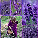 Yukio Samenhaus - Bio Lavendelsamen Mehrjährig Saatgut Blumensamen, als niedrigen Zaun oder in Töpfe, verwendet in Leinentaschen, Gebäck (20)