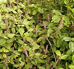 Plant House Live Apamarg/Prickly Chaff Flower/Latjeera Medicinal Plant (with POT)
