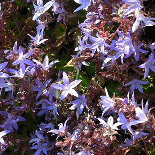 Blumixx Stauden Campanula poscharskyana 'Blauranke' - Hängepolsterglockenblume violettblau