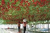 100 italiano Albero di pomodoro * HEIRLOOM RARE !! * semi di vita semi di pomodoro gigante albero da...