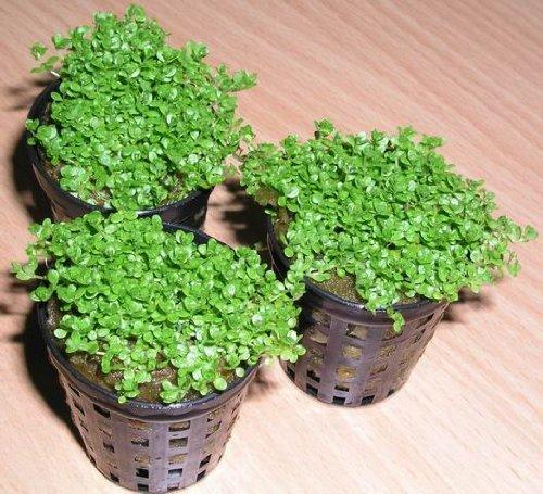 Kuba Zwerg-Perlenkraut / Hemianthus callitrichoides CUBA - HC -