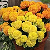 #8: Arrison Marigold Hybrid Type Double African Mixed, 50 seeds pack