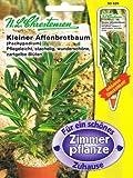 Kleiner Affenbrotbaum Pachypodium rosulatum Zimmerpflanze