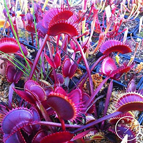 Big Promotion! 10 Pieces / sac boule graines de cactus rares graines de plantes succulentes Bonsai Celestial pot de fleurs jardinières Flores, # 2ZVKYU