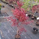 Müllers Grüner Garten Shop Roter Fächerahorn Acer palmatum Atropurpureum Ahorn 90-100 cm 19 cm Topf