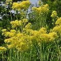 lichtnelke - Gelbe Wiesenraute (Thalictrum flavum ssp. glaucum) von Lichtnelke Pflanzenversand auf Du und dein Garten