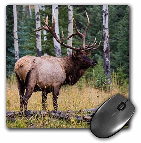 Rocky Mountain Elk (3dRose Mauspad Rocky Mountain Bull Elk, Jasper National Park, Kanada, 20,3 x 20,3 cm (mp_277188_1))