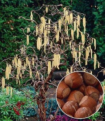 """BALDUR-Garten Haselnuss """"Waldhasel"""",1 Pflanze Nussbaum von Baldur-Garten auf Du und dein Garten"""