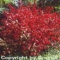 Korkflügelstrauch Compactus 40-60cm - Euonymus alatus von Baumschule bei Du und dein Garten