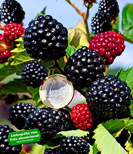 """BALDUR-Garten Zuckerbrombeere""""Asterina®"""" 1 Pflanze Rubus fruticosus winterhart Brombeerpflanze Brombeerstrauch"""