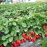 Shopmeeko 300 huertos de fresa bonsai en el jardín de la casa con fresa NON-GMO fresa gran fruta deliciosa